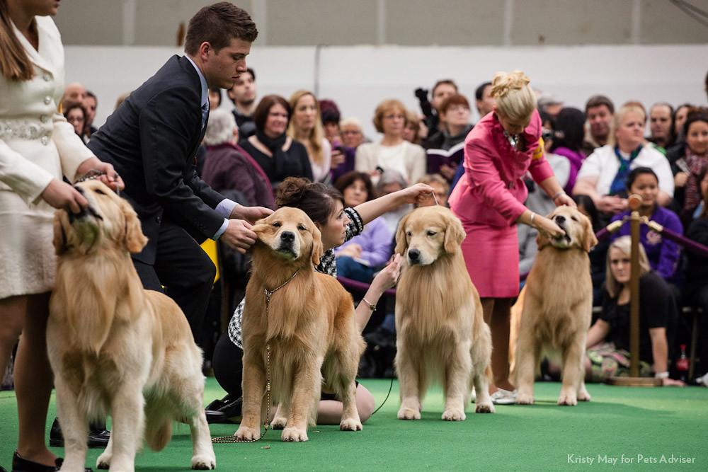 Westminster Dog Show Live Feed