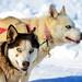 Dog Team. Quebec Carnival 2013