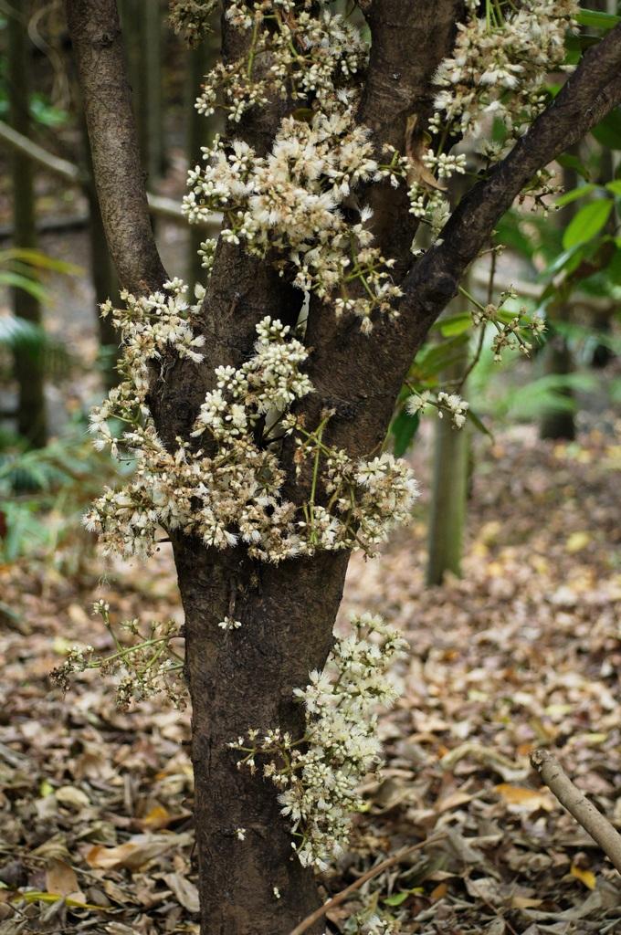 Flowering Trunk Of Syzygium Branderhorstii Tree Of