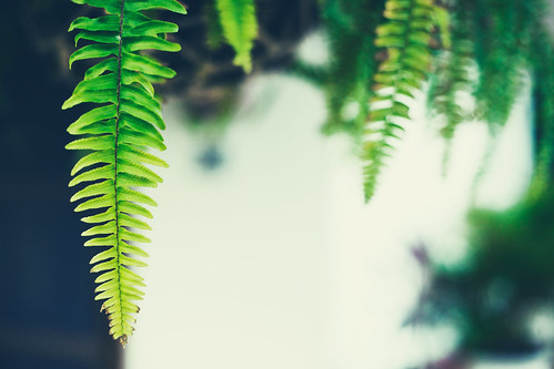 Fern Leaves | by GardenBluesPhotography