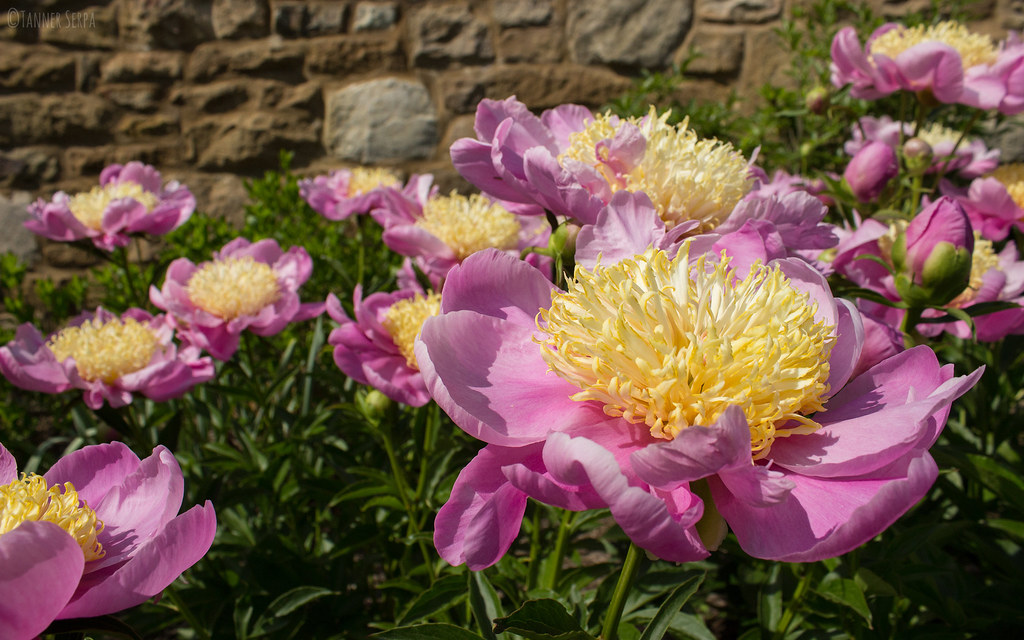 Nice Pink Flowers These Were Some Nice Pink Flowers Im N Flickr