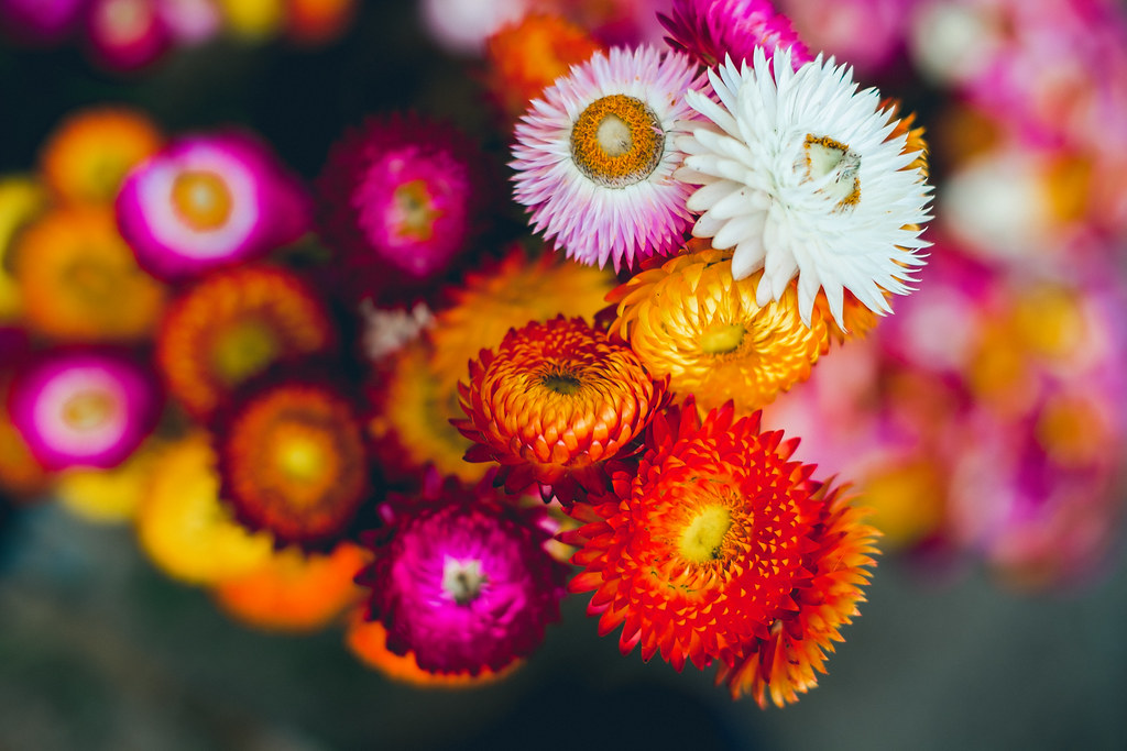 everlasting flowers  helichrysum bracteatum cv  monstrosum