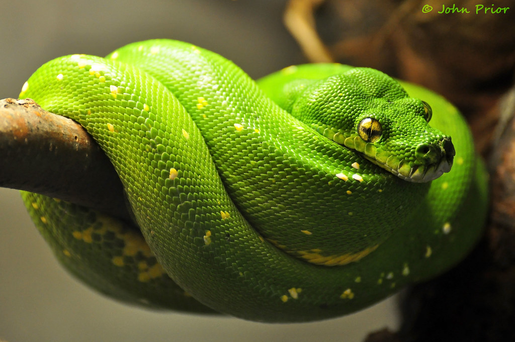 Green Tree Python Snake Lincoln Park Zoo Chicago