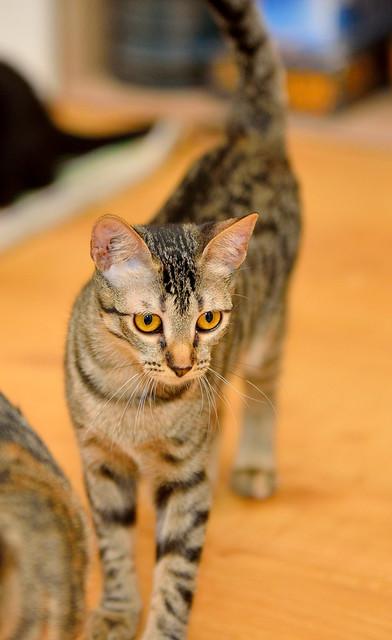 Muriel, gatita atigrada parda tímida y dulce esterilizada, de ojos cobrizos, nacida en Abril´16, en adopción. Valencia. 29532521061_d6a59835e8_z
