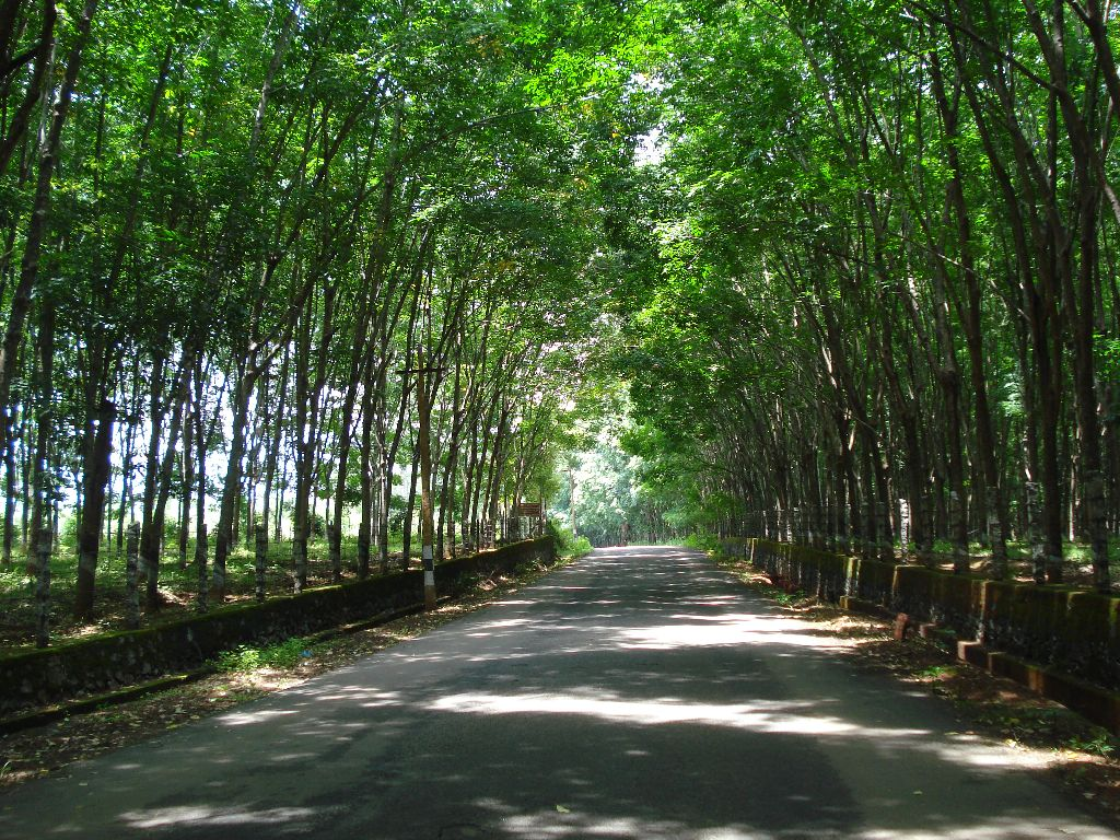Road To Pechiparai Reservoir In A Rubber Tree Plantation A