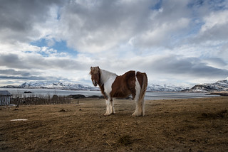 Icelandic Horse | by TrevinC