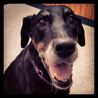 Happy dog at the vet! #dogstagram #dobermanmix #love