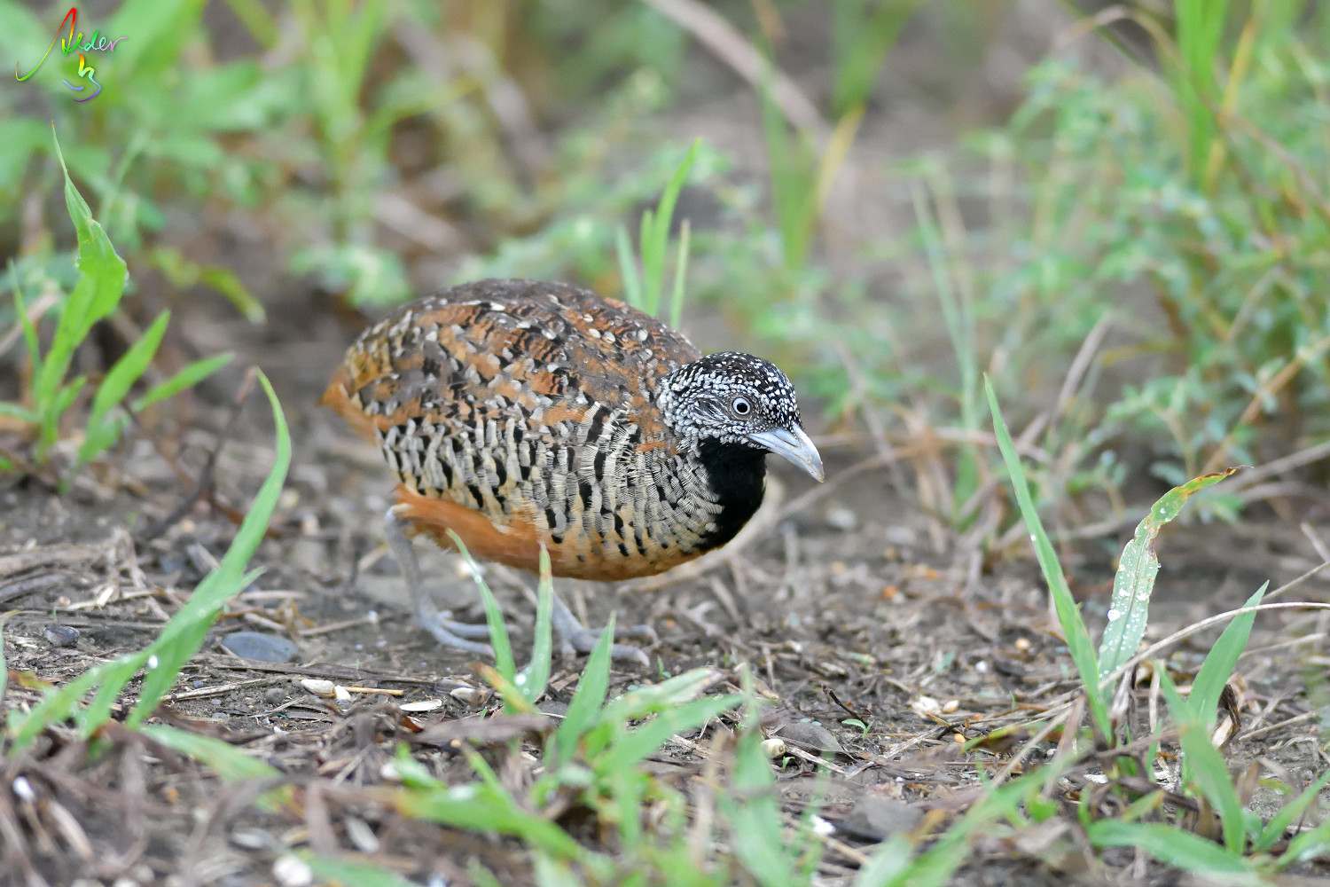 Barred_Buttonquail_1323