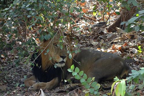 D Exhibition In Borivali : Lion safari national park mumbai