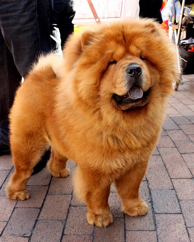 Chow Chow | by Prayitno / Thank you for (8 millions +) views