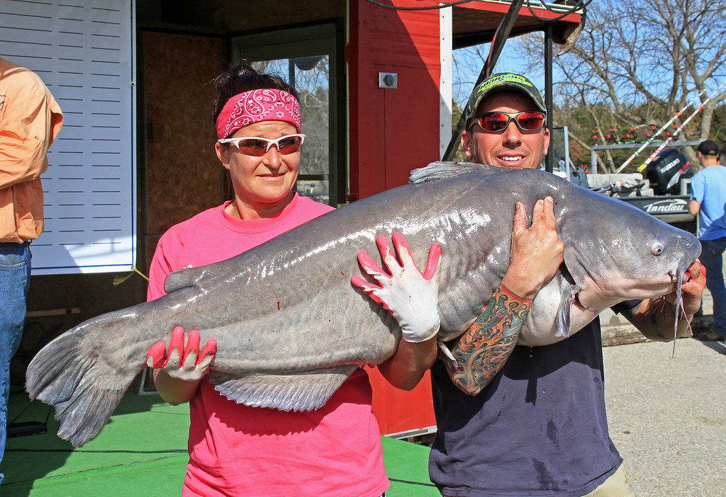 Milford lake record this blue catfish weighed for Kansas fish records