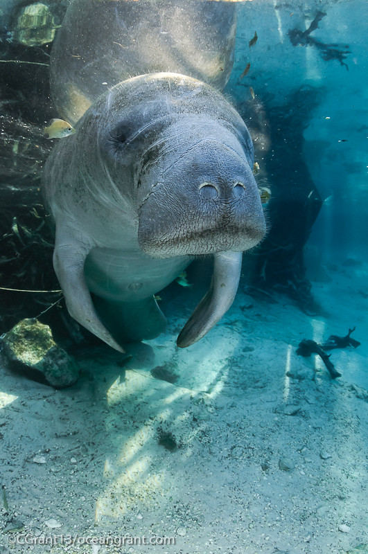 Manatee Sun Springs And Fish Florida Manatee Trichechus