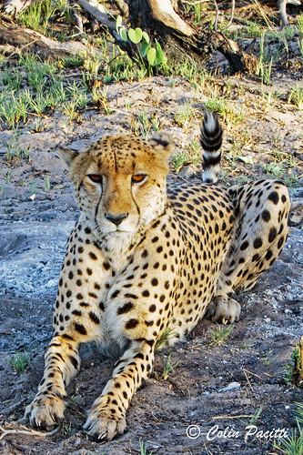 cheetah7 (acinonyx jubatus)