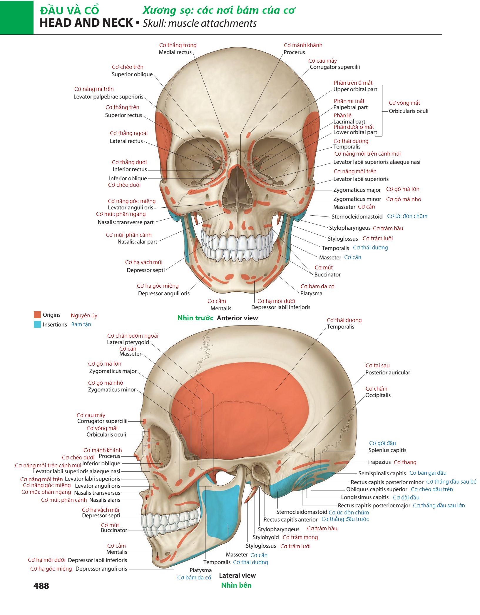 Richard L. Drake, A. Wayne Vogl, Adam W. M. Mitchell, Richard M. Tibbitts & Paul E. Richardson. Gray's Atlas of Anatomy,2nd Edition. Churchill Livingstone, 2015: 488