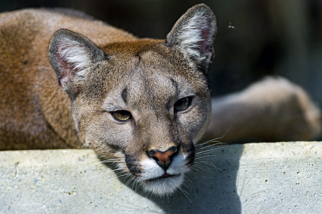 Lying cougar | One of the cougars of the Plättli Zoo lying ...