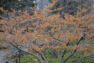 Witch-Hazel | by Brooklyn Botanic Garden