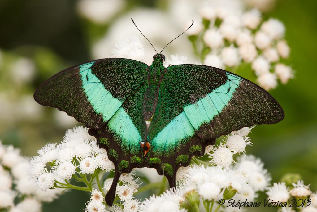 Papillons en libert 2013 jardin botanique de montr al for Jardin botanique montreal papillons 2016