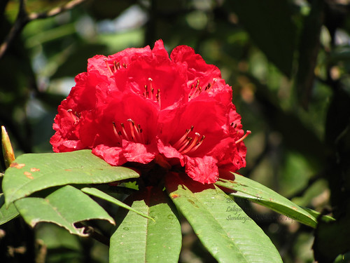 Laligurans Rhododendron Nepal S National Flower Flickr