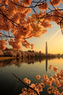 Cherry Blossoms | by christopherskillman
