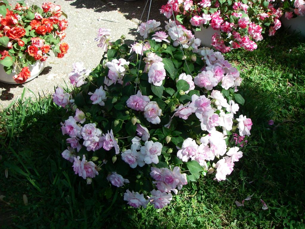 Flower Hanging Baskets Sale : Rosebud impatiens hanging basket ssds plant sale flickr
