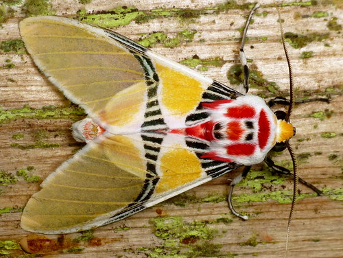 Tiger Moth With Clown Face Idalus Herois From Reserva