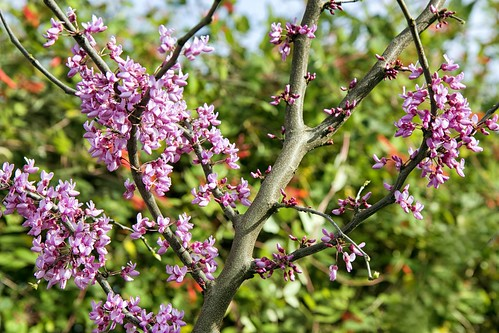 Redbud Tree | by carolynpepper