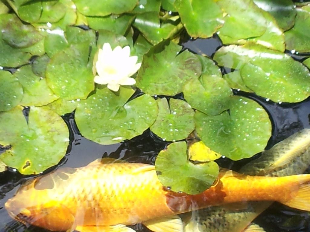 Koi under a lotus koi ponds at the meditation gardens in for Koi fish pond lotus