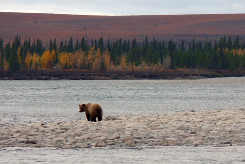 Bear Behind | by Western Arctic National Parklands