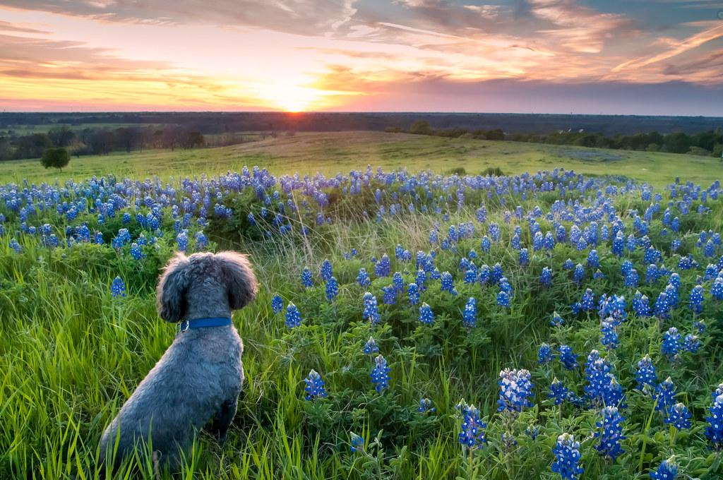 sunset  texas bluebonnets  and hound dog  aka  u0026quot big boy u0026quot