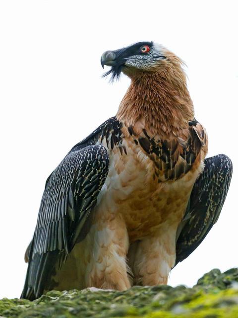 bearded vulture - photo #21