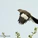 Mockingbird_004