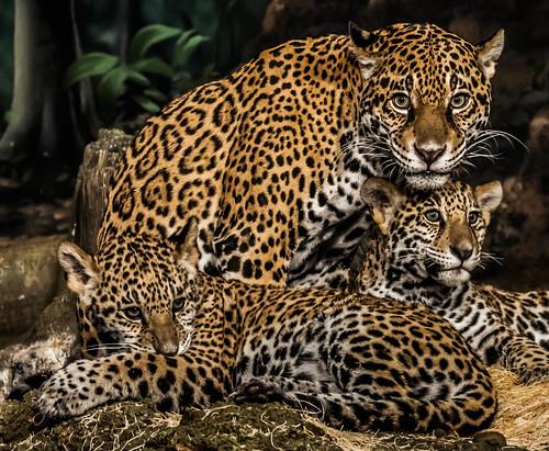 jaguar babies