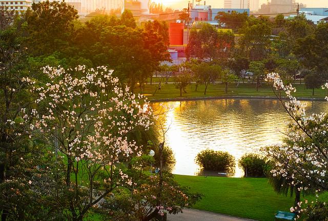 Pink Tecoma Blossom at Sunset