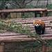 Firefox / Panda Roux
