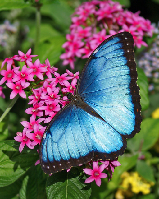 Blue morpho butterfly flickr photo sharing for Butterfly on flowers