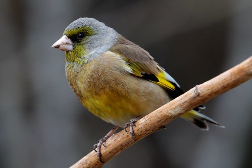 Oriental Greenfinch | by Aaron Maizlish
