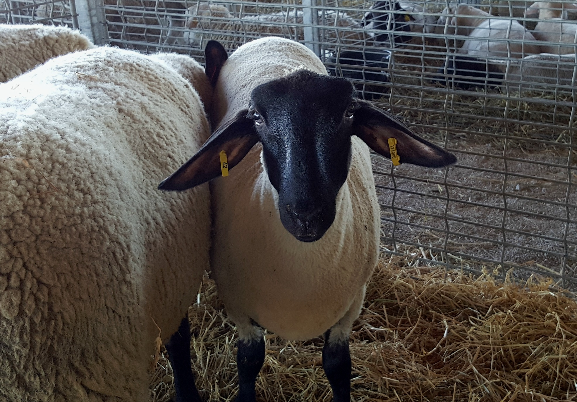 Sheep Sutton Fair 2016