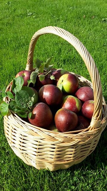 リンゴ りんご 林檎 豊作 バスケット かご