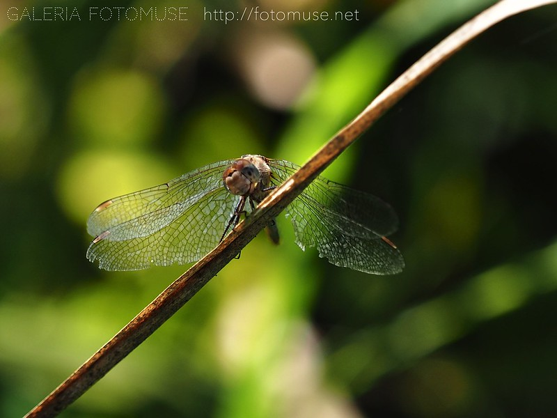 Smiling October Dragonfly