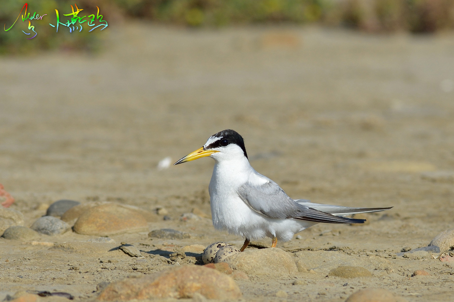 Little_Tern_2058