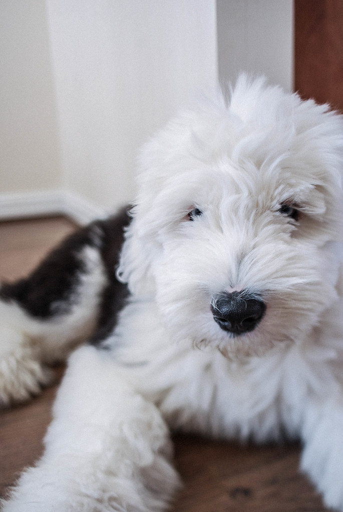 Old English Sheepdog Puppies For Sale Dog