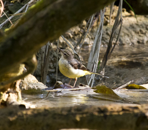 Grey Wagtail | by christopheradler