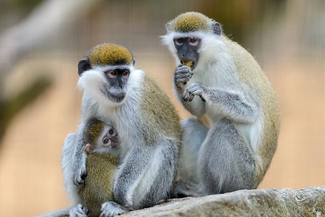 Grivet Monkey Family
