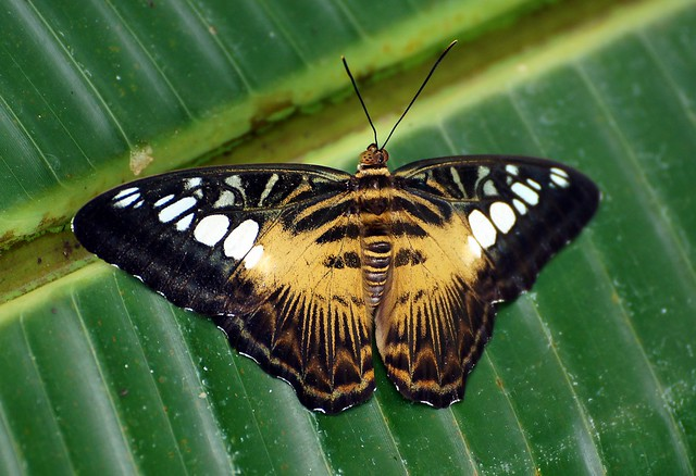 "Clipper ""Parthenos sylvia"""