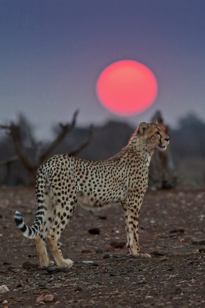 bruce and the cheetah Here we report details of two other fse cases in captive cheetah including a 2nd   bruce m (1996) strain typing studies of scrapie and bse.