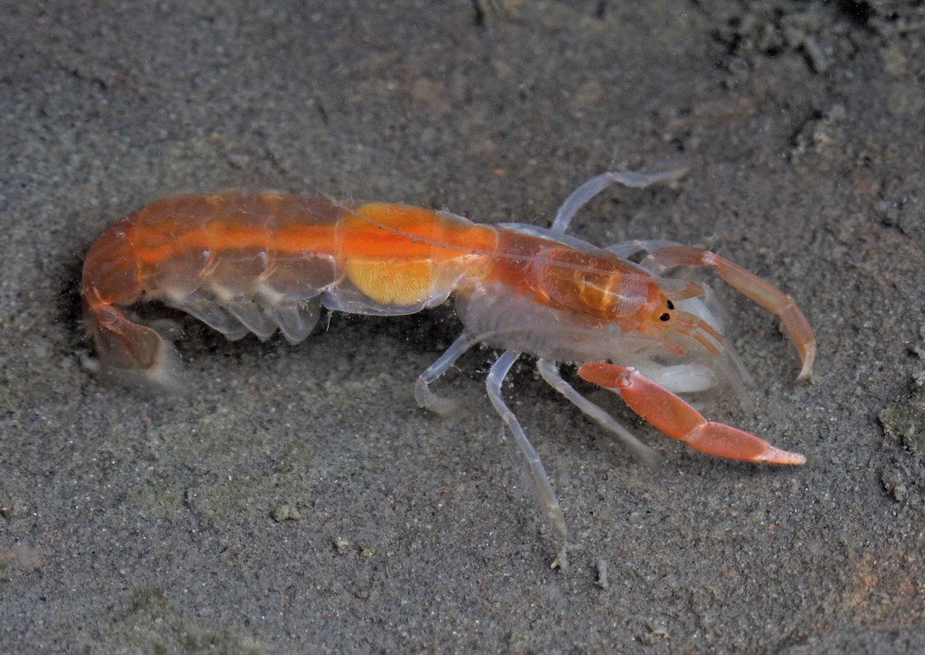 Ghost Shrimp Related Keywords & Suggestions - Ghost Shrimp Long Tail ...