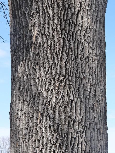 Green Ash Bark Pattern Flickr Photo Sharing