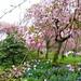 cherry blossom festival april 7