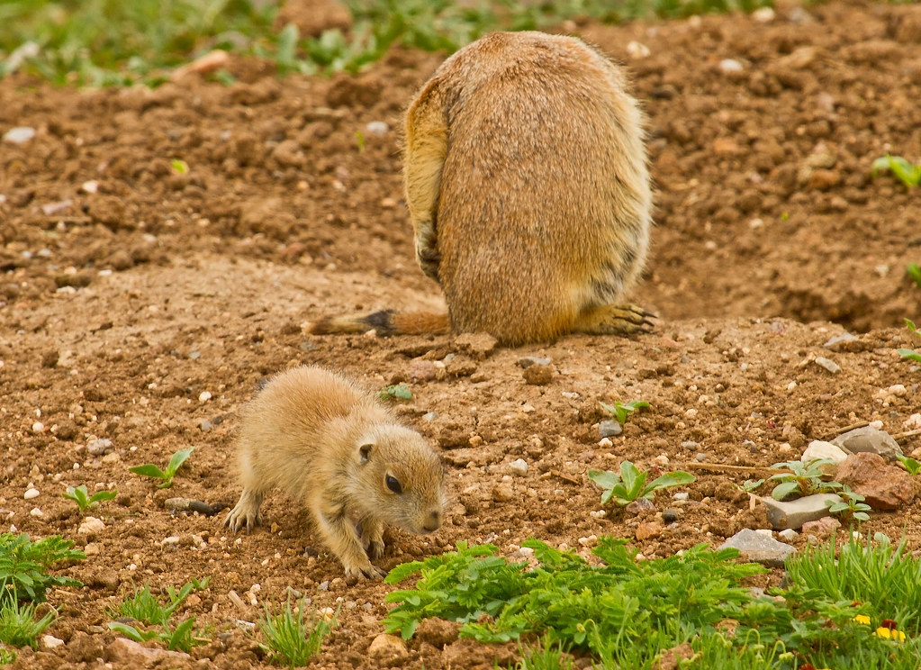 Baby prairie dog | This little Black-tailed Prairie Dog is ...