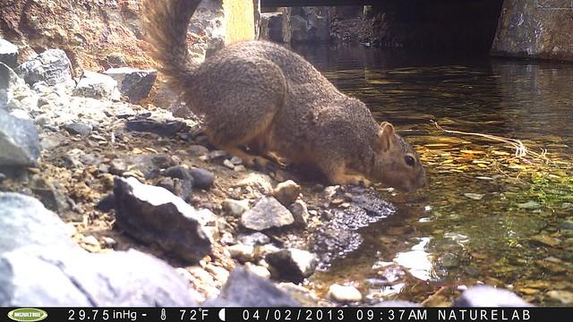 Eastern fox squirrel drinking